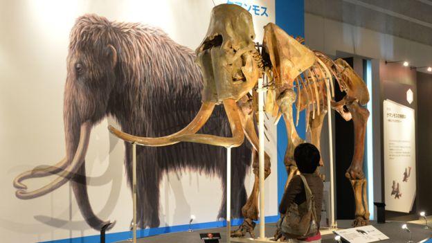cientificos-japoneses-lograron-reactivar-celulas-de-un-mamut-de-28-000-anos